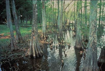 cypress in wetland