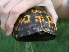 Picture of box turtle